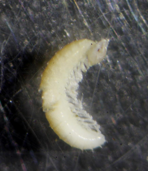 Tiny white millipede, juvenile?