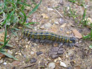 Big stripy hairy caterpillar