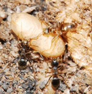 Formicine ant