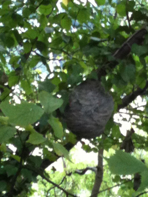 wasp's nest?