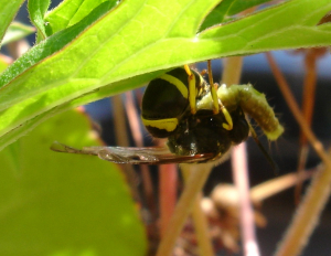 potter wasp with caterpillar?