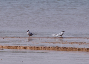 Different Tern