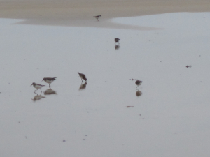 Birds at Hayle Cornwall