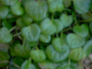 Scurvy Grass?