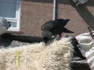 Jackdaw (Coloeus monedula), opportunist thief
