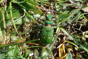 green bettle wooltack point