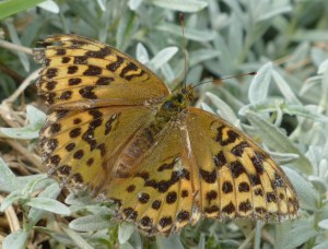 Female Fritillary Butterfly