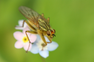 Kind of fly on forget me not