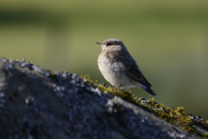Young Northern Wheatear