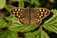 Forms and Aberrant of The Speckled Wood Pararge aegeria