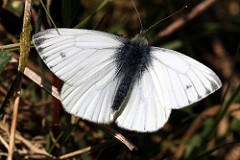 Forms and Aberations of the  Green Veined White Pieris napi