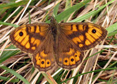 Aberent Forms Of The Wall Brown Lasiommata megera