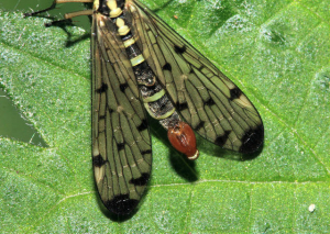 Determination Of the UK Scorpion Fly Species