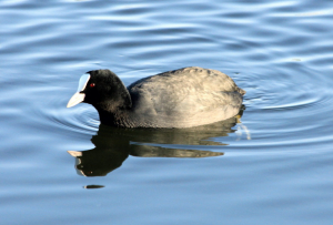 Coot 4082
