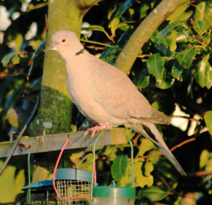 Collared Dove 4148