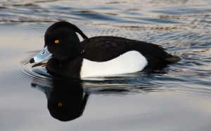 Tufted Duck 4258