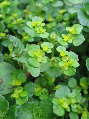 0119 Alternate Gold Saxifrage Macro