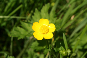 Creeping Buttercup 9886