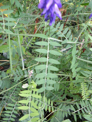 Tufted Vetch 0874