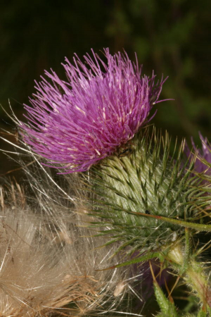 Spear Thistle 9951