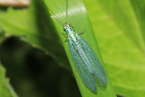 Blue Lacewing Neuroptera