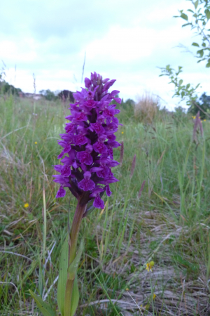 Northern Marsh~Orchid