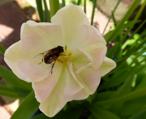 Hover Fly in angelique tulip