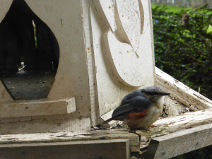 Nuthatch ~ moulting or young!