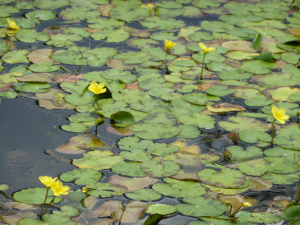 Tiny yellow water lily