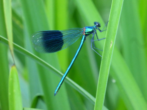 Beautiful Damoiselle