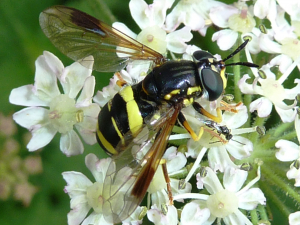 Hoverfly at rest