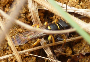 Wasp investigating Ivy Bee burrows