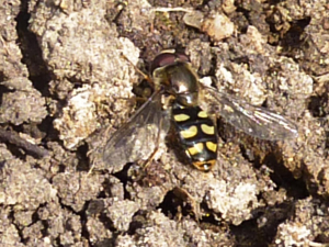 Early Hoverfly