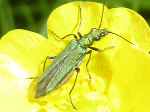 Green beetle on buttercup