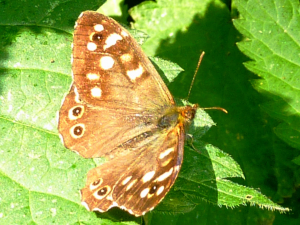 Speckled Wood in the sunshine