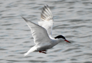 Common Tern at Farmoor