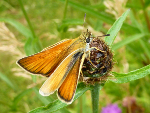 Skipper on Knapweed