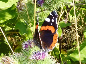 Red Admiral on burdock