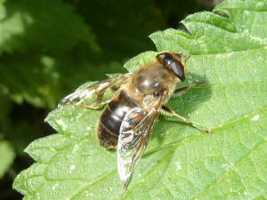 Eristalid hoverfly