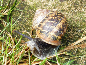 Random snail B for ID