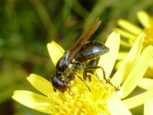 Cheilosia hoverfly