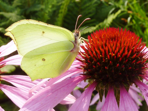 Brimstone on Cone Flower
