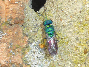 Ruby-tailed Wasp perhaps?