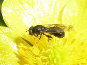 Small hoverfly on buttercup