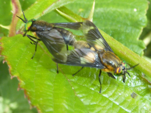 A pair of flies