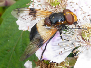 Hoverfly on bramble