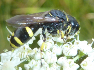 Small wasp on Hogweed - for ID please