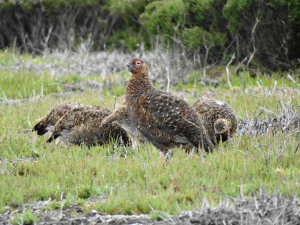 Red Grouse hunt