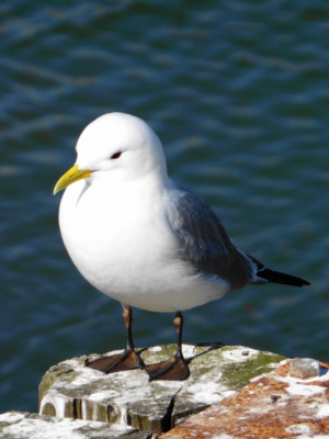 Kittiwake in the sunshine