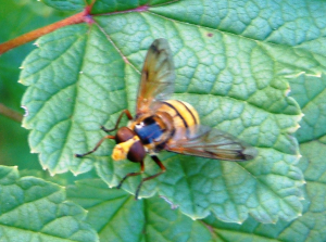 Another Hoverfly?